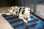 Kullassepa koer Sampo